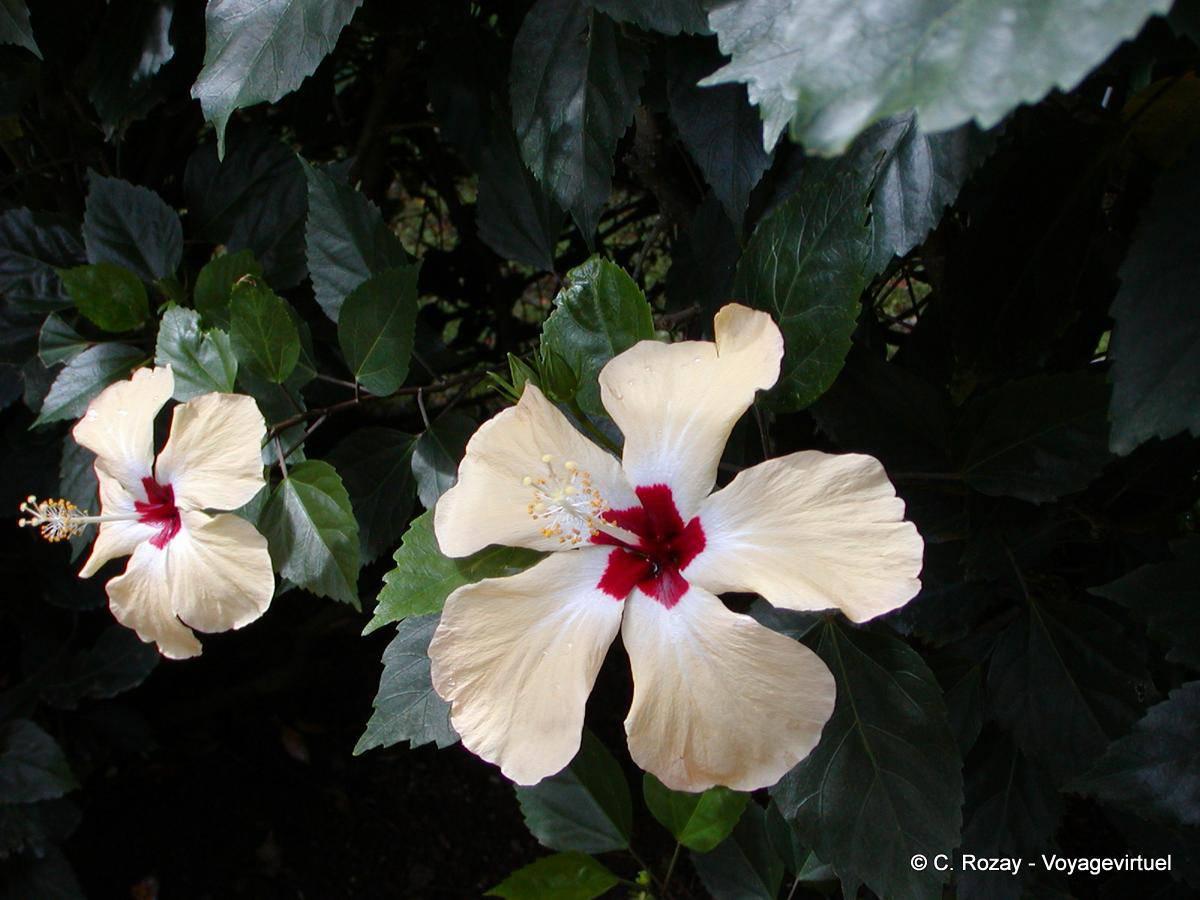 Fleurs d\'Hibiscus, famille des malvacées, Jardin Botanique de ...