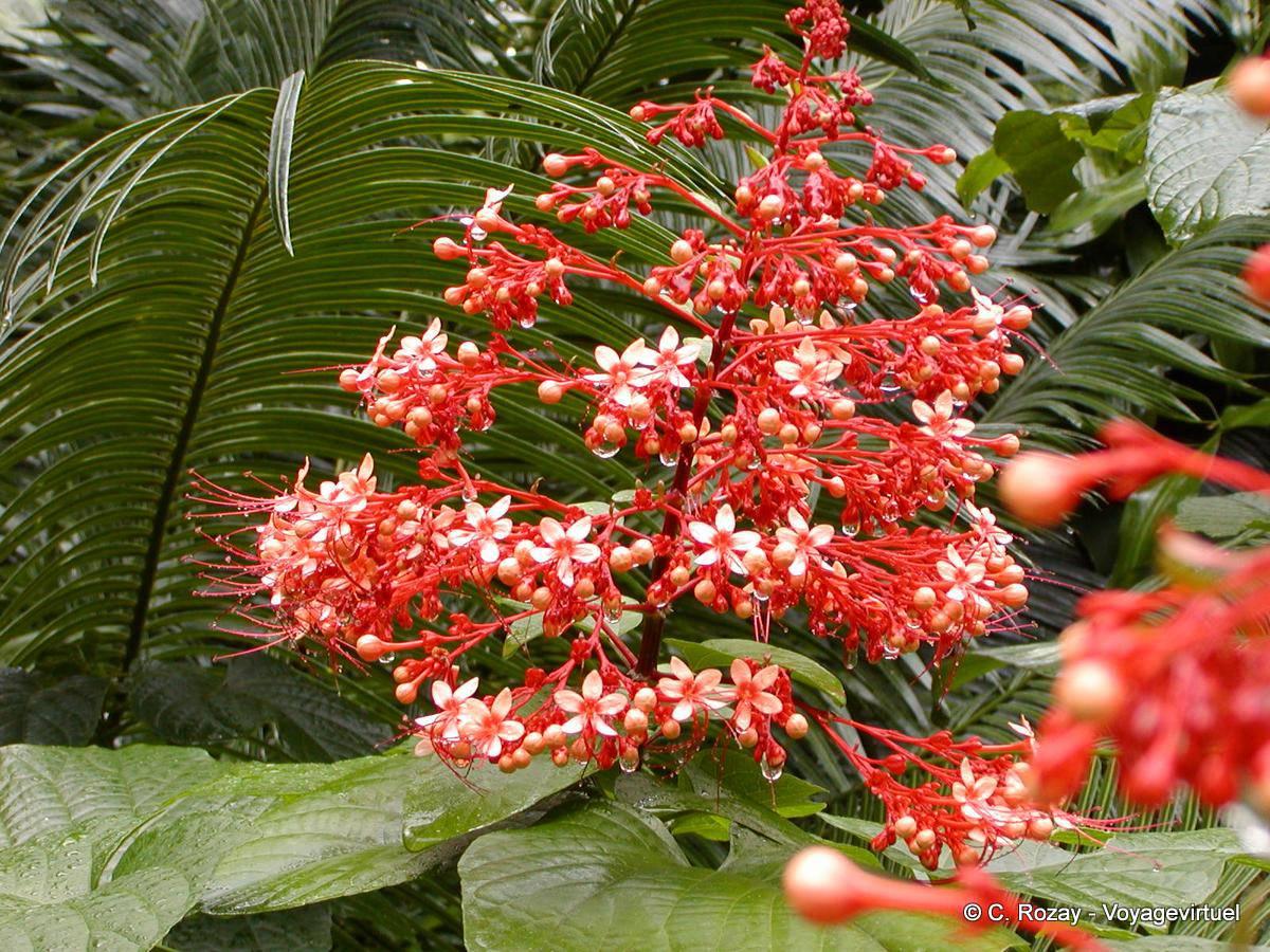 Fleurs en grappe sur fond de palmier, Jardin botanique Deshaies ...