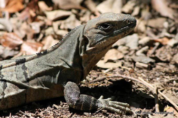 Edzna Iguane 6