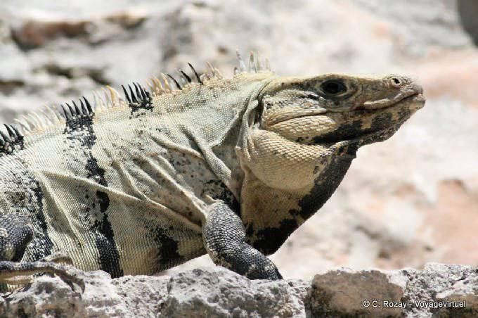Edzna Old Iguane 15
