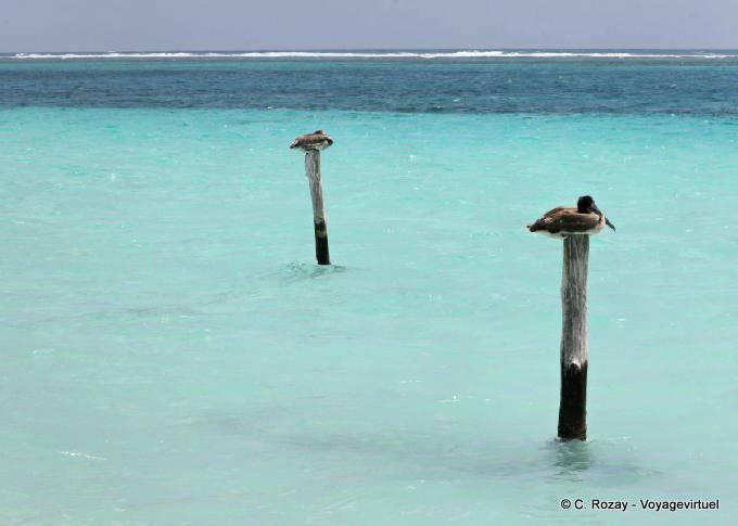 Puerto Morelos Repos Des Pelicans 24