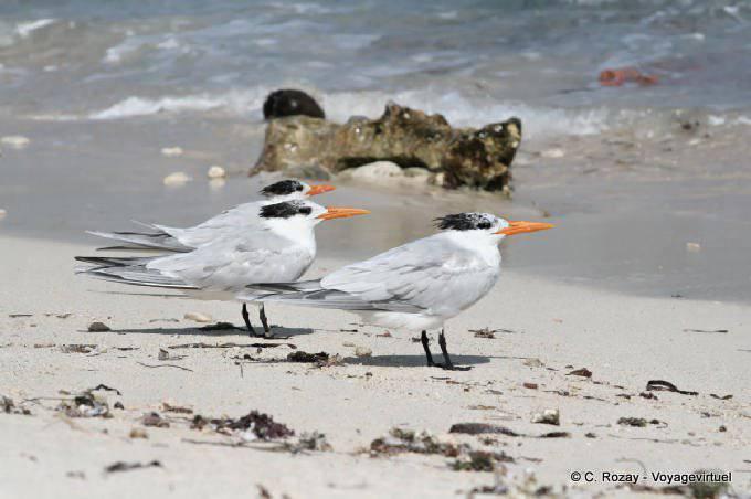 Tulum Oiseaux Sternes Sur Plage 6