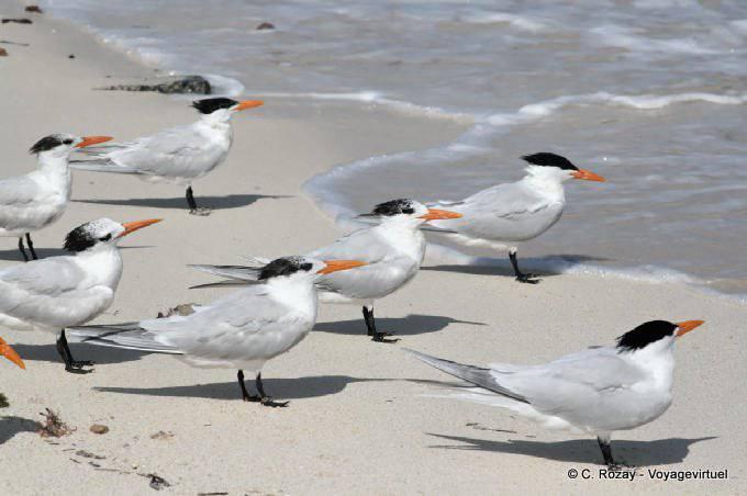 Tulum Oiseaux Sternes Sur Plage 8