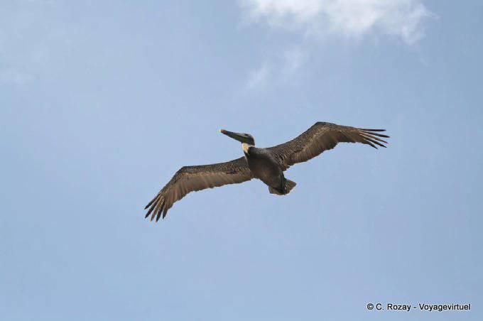 Tulum Pelican En Vol 8