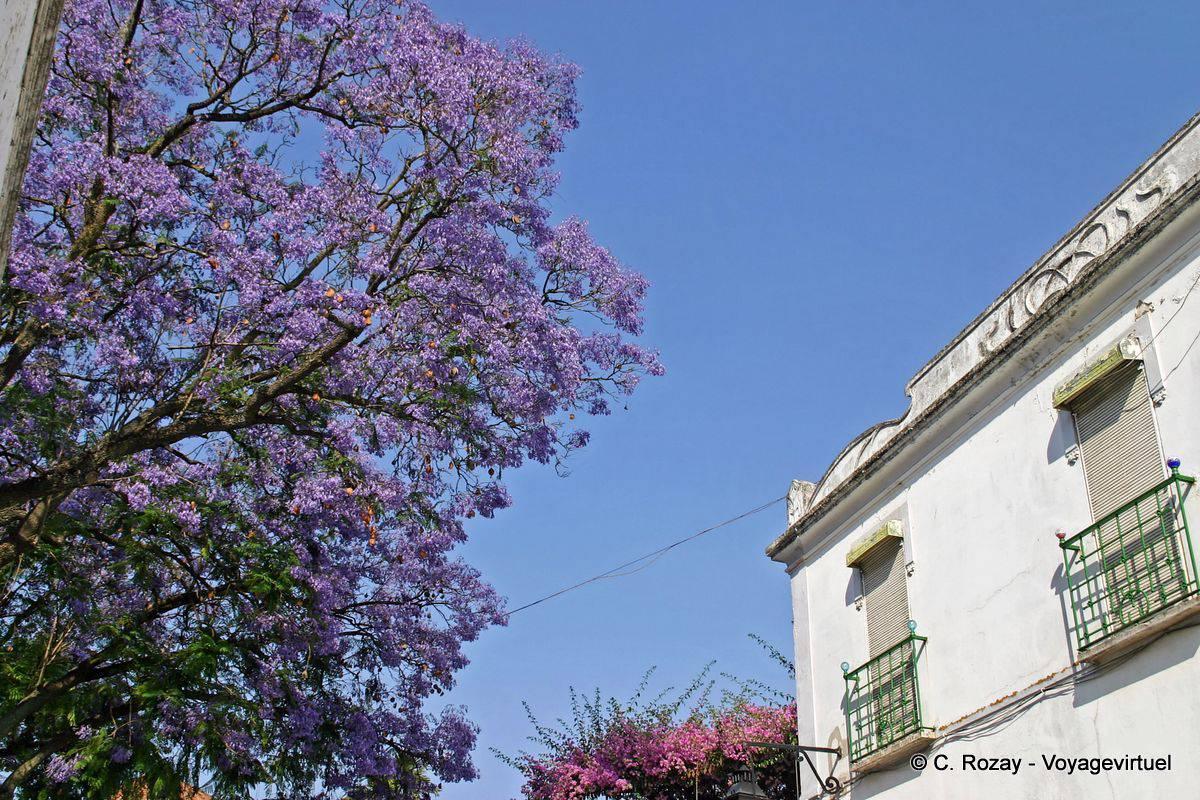 jacaranda, l'arbre violet, Évora - portugal