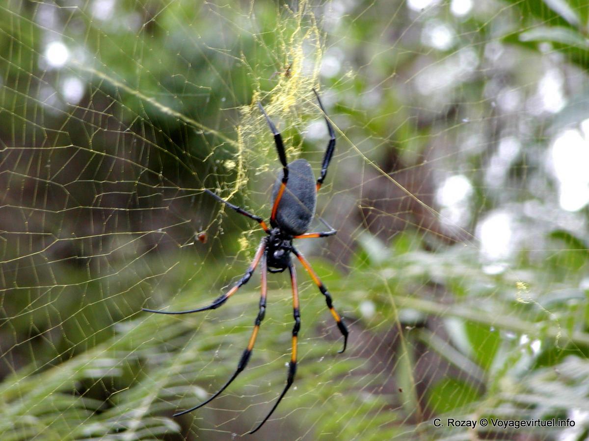 Favori Araignée arboricole rencontrée en randonnée vers le Dimitile - La  IU46