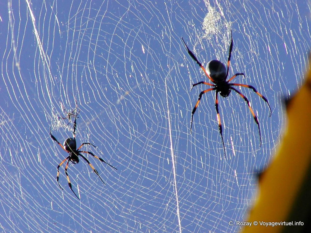 Favori La toile des araignées Nephila nigra - La Réunion IU46